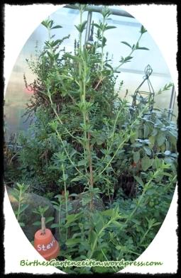 Stevia-Pflanze (Zucker-Ersatz), Okt. 2014