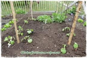 [Tagebuch] Ende Mai – Ideales Saat- und Setzwetter: Rosen, Gurken, Zucchini, Radies, Salat,Basilikum