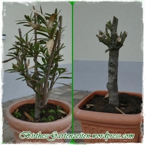 Wandelröschchen und Oleander: Überwinterung – Man lernt nie aus – Top und Flop!