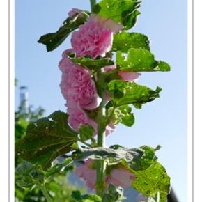 [Stockrosen] Blütenzauber imAugust…