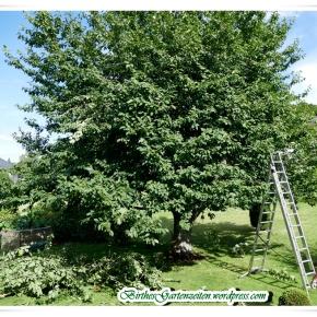 [Tagebuch 13.7.2017] Großer Schnitt ! Und was der Kirschbaum mit dem TV-Empfang zu tunhat…