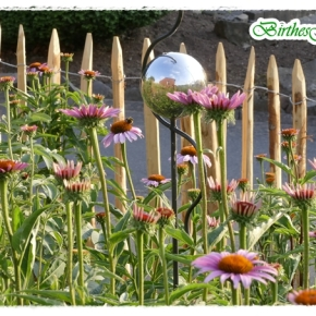 Fotogener Sonnenhut Echinacea…